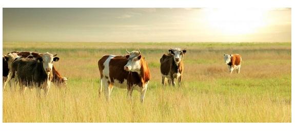 Minder stikstof dankzij biogas uit koeienmest