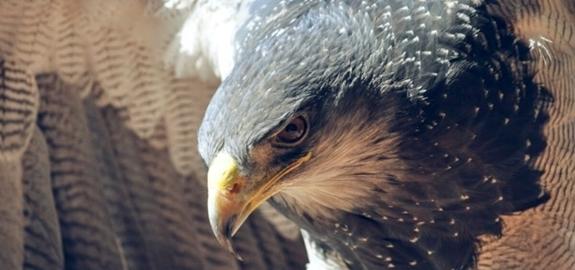Eén zwarte wiek maakt windturbines beter zichtbaar voor vogels